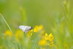 Black-veined white butterfly Royalty Free Stock Photos