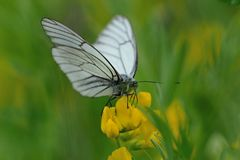 Black-veined white butterfly Stock Photo