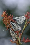 Black-veined white butterfly Royalty Free Stock Photo