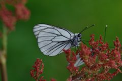 Black-veined white butterfly Stock Image