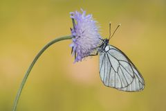 Black-veined white butterfly hanging on a flower. On a natural background stock photo
