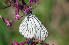 Black-veined White butterfly on a purple flower Royalty Free Stock Photos