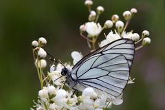 Black-veined White Royalty Free Stock Photos
