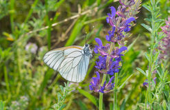 Black-veined White butterfly sitting on a wild sage Royalty Free Stock Photo