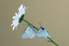 Black-veined white butterflys Royalty Free Stock Images