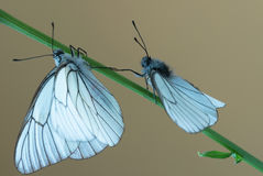 Black-veined white butterflys Stock Photography