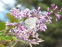 A black-veined white butterlfly Royalty Free Stock Images