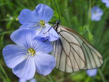 Black-veined white on flower. Royalty Free Stock Photography