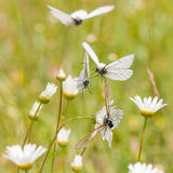 Black-veined white in a flower meadow Stock Photos