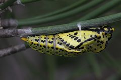 Black-veined White pupa Stock Photography