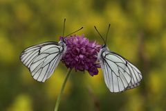 Black-veined White butterfly Royalty Free Stock Image