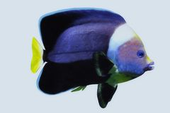 Black Velvet Angelfish Stock Photos