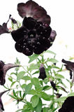 Black Velvet Petunia stock photos