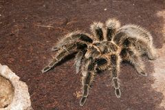 Black Velvet Tarantula Stock Images