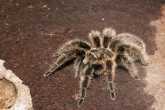 Black Velvet Tarantula Royalty Free Stock Photography