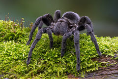 Black Velvet Tarantula (grammostola pulchra) Stock Photo