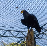 Black verreaxs eagle sitting on top of a tree trunk, a tropical raptor from africa stock photo