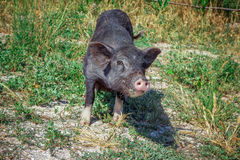 Black vietnam mini pig eating grass on the meadow Royalty Free Stock Images