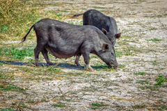 Black vietnam mini pigs eating grass on the meadow Stock Photography