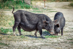 Black vietnam mini pigs eating grass on the meadow Royalty Free Stock Photos