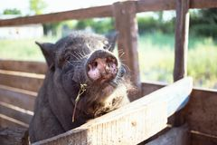 Black Vietnamese pig Stock Photography