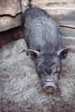 Black Vietnamese pig Royalty Free Stock Images