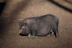 Black Vietnamese pig on the farm yard. Animal life, people and d stock images