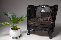 Black vietnamese piglet is lying end relaxing in retro armchair stock image