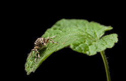 Black Vine Weevil en face Royalty Free Stock Images