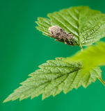 Black Vine Weevil. Macro of snout beetle (Otiorrhynchus sulcatus) resting on leaf over green background royalty free stock image