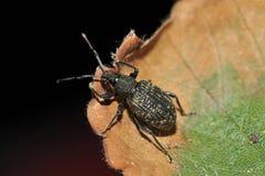 Black Vine Weevil Stock Photos