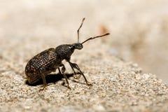 Black Vine Weevil - Otiorhynchus sulcatus. Macro of Black Vine Weevil - Otiorhynchus sulcatus, Czech Wildlife stock images