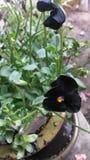 Black Violas Stock Image
