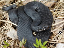Black Viper Royalty Free Stock Photo