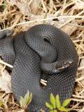 Black Viper Stock Photo