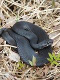 Black Viper Stock Image