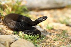 Black viper on path Royalty Free Stock Photography