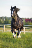 Black Vladimir draft horse runs gallop in front Stock Photo