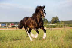 Black Vladimir draft horse runs gallop on the pasture Stock Photography