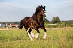 Black Vladimir draft horse runs gallop on the pasture Stock Photography