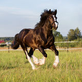 Black Vladimir draft horse runs gallop. On the pasture Royalty Free Stock Images