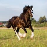 Black Vladimir draft horse runs gallop Royalty Free Stock Images