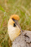 black vände ibis patagonia mot Arkivfoto