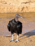 Black Vulture Royalty Free Stock Photography