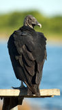 Black Vulture. Perched on a bench in the Florida Everglades stock photos
