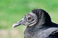 Black Vulture Stock Photos