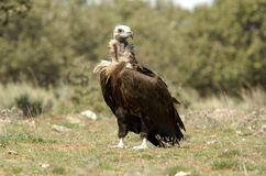 Black vulture Royalty Free Stock Photo