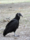 Black Vulture (2), Florida. Black Vultures are common scavenging birds in Florida and regions of America and South America Royalty Free Stock Photography