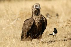 A black vulture Stock Photography