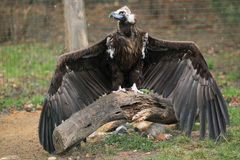 Black vulture Royalty Free Stock Images